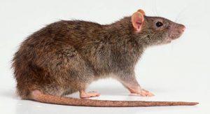 موش و روش مبارزه