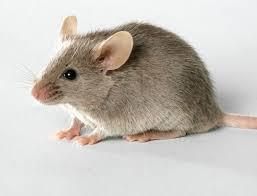 موش و طعمه گزاری